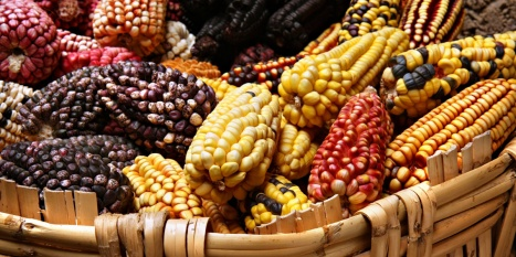 Mexico's native maize is a little safer after winning an appeal to keep a ban on planting GE corn