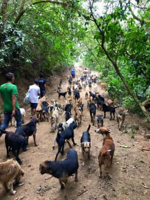 Dogs on a walk in the woods with sanctuary volunteers, Photo courtesy of Territorio de Zaguates