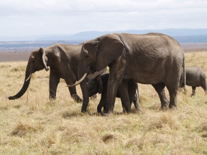 Elephants in Masai Mara, just one of the seriously endangered species that the Maasai want to help save