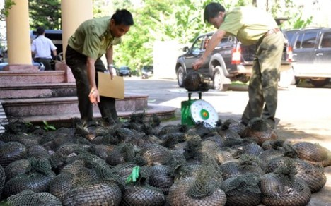 Endangered Pangolins killed and sold to Vietnamese restaurants
