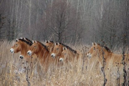 Wild ponies are among the diverse animals that are part of the fabric of the abandoned land of Chernobyl