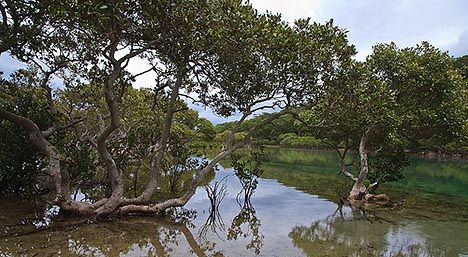 What a healthy mangrove forest in Australia looks like, photo by Richard Taylor