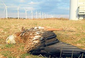 "A dead bald eagle - one of hundreds of thousands of the annual sanctioned ""take"" on wind farms"