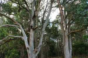 Australia's famed hardwood tree - the Eucalyptus obliqua - could be spared in favor of 3Wood