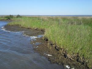 Evident erosion of Louisiana's Barataria Bay marshland